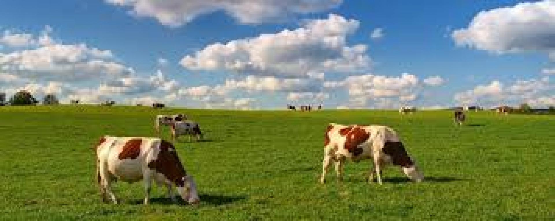 Fosfaatrechten voor intensief melkveebedrijf snel te duur