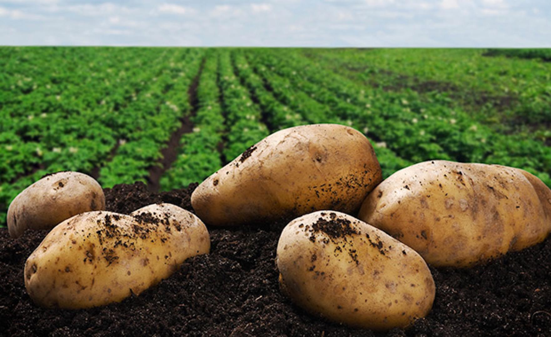 Fosfaatbehoefte aardappelen gedekt bij huidige gebruiksnormen